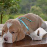 beagle-bicolor