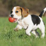 beagle-brincando