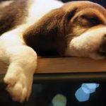 beagle-dormindo
