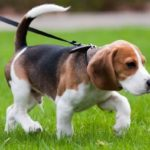 beagle-filhote