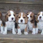 beagle-filhotes