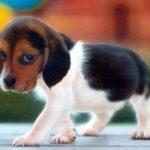 beagle-filhotinho