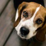 beagle-olhos