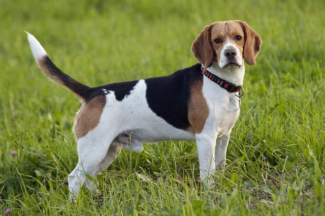 Beagle é muito família e por isso não deve ser deixado em casa sozinho por muito tempo