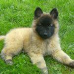 pastor-belga-filhote