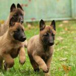 pastor-belga-malinois-filhotes