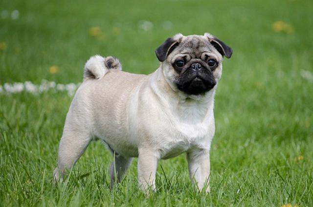 O pug é uma das raças de cães que latem pouco