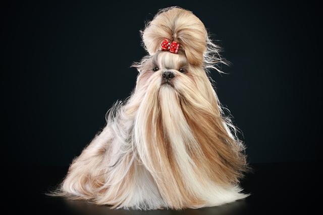 Muitos criadores definem o shih tzu como um cão assertivo, ou seja, que é direto e autêntico