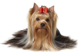 Yorkshire Terrier – Saiba tudo sobre esta raça