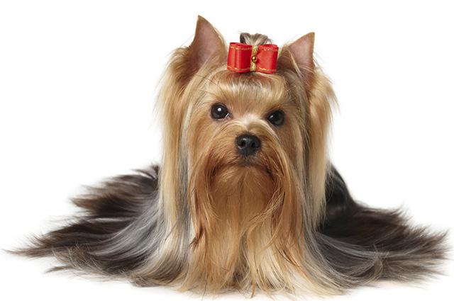 O yorkshire terrier ocupa o nono lugar na lista de cães mais populares