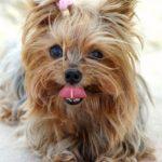 yorkshire-terrier-marrom-lingua-fora