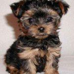 yorkshire-terrier-miniatura-preto-marrom