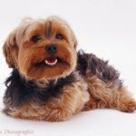 yorkshire-terrier-peludinho