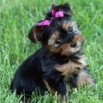 yorkshire-terrier-preto-marrom-pelos
