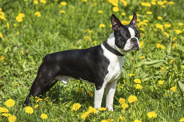 Cachorro da raça Boston Terrier