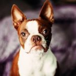 boston-terrier-marrom