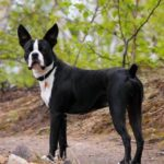 boston-terrier-preto