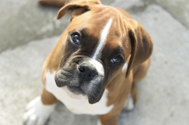 O adestramento do cachorro da raça boxernão é difícil, pois ele tende a aprender rápido