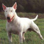 bull-terrier-adulto