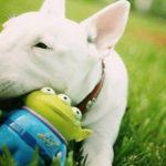 bull-terrier-brincando