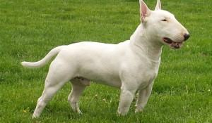 bull-terrier-macho