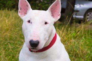 Bull terrier – Saiba tudo sobre esta raça