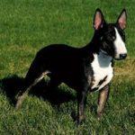 bull-terrier-preto-e-branco