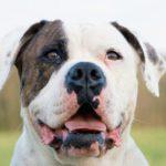 bulldog-americano-face