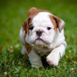 bulldog-filhote