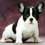 bulldog-frances