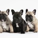 bulldog-frances-filhotes