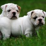 bulldogs-brancos-filhotes
