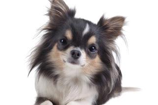 Chihuahua – Saiba tudo sobre esta raça