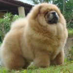 chow-chow-peludo