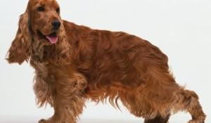cocker-spaniel-ingles-cao