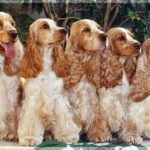 cocker-spaniel-ingles-irmaos