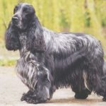 cocker-spaniel-ingles-preto