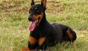 dobermann-adulto