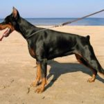 dobermann-na-praia