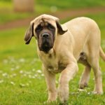 english-mastiff-pequeno
