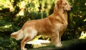 golden-retriever-belo