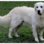 golden-retriever-branco