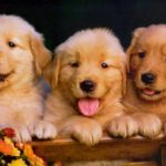 golden-retriever-filhotes
