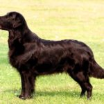 golden-retriever-preto