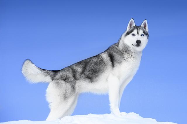 O husky siberiano é um cão de alerta, mas não apresenta agressividade