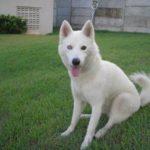 husky-siberiano-branco
