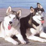 husky-siberiano-dando-lingua