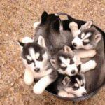 husky-siberiano-fofos