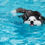 husky-siberiano-na-piscina