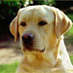 labrador-cachorro